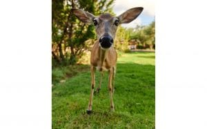 Picture of a deer in a grassy yard